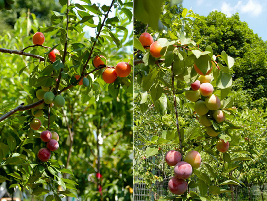 varietà di 40frutti diversi nello stesso albero