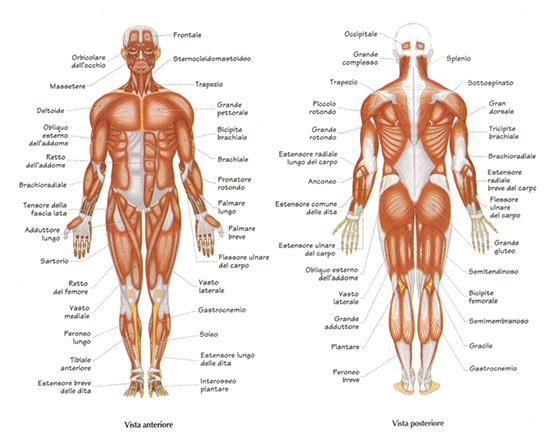 anatomia muscolare corpo umano