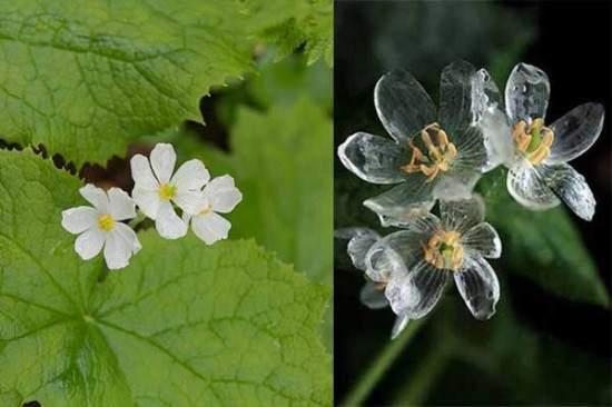 diphylleia grayi fiori trasparenti
