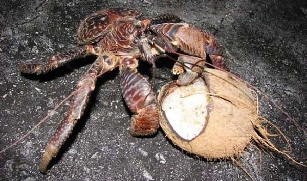 granchi giganti cocco