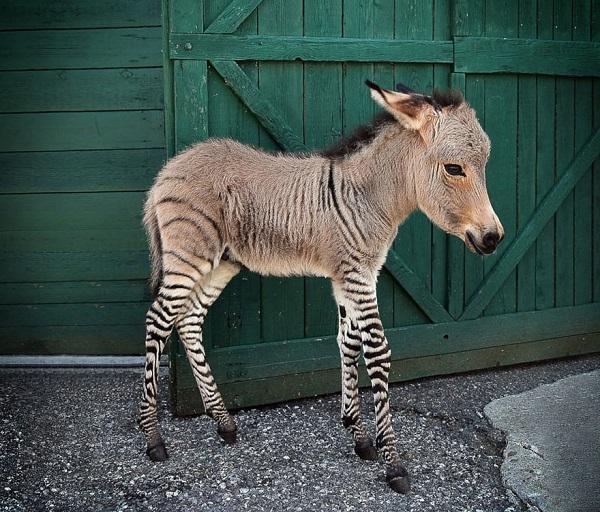 incrocio asino zebra