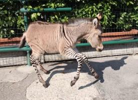 Ippo, l'adorabile Zonkey per metà zebra e metà asino