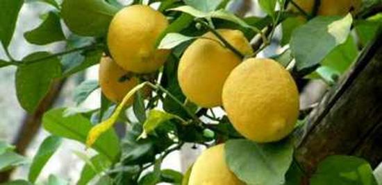 limone agrumi