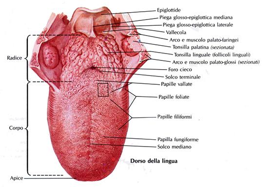 struttura della lingua