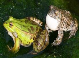 Che differenza c'è tra la rana e il rospo?