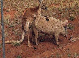 Amore impossibile: sesso tra il canguro e la maiala